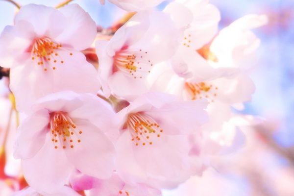 桜の目黒を歩いてみませんか?